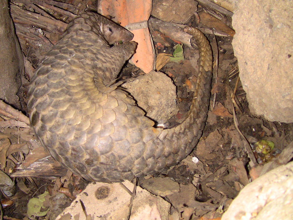 Poaching Threatens Pangolins in Sri Lanka