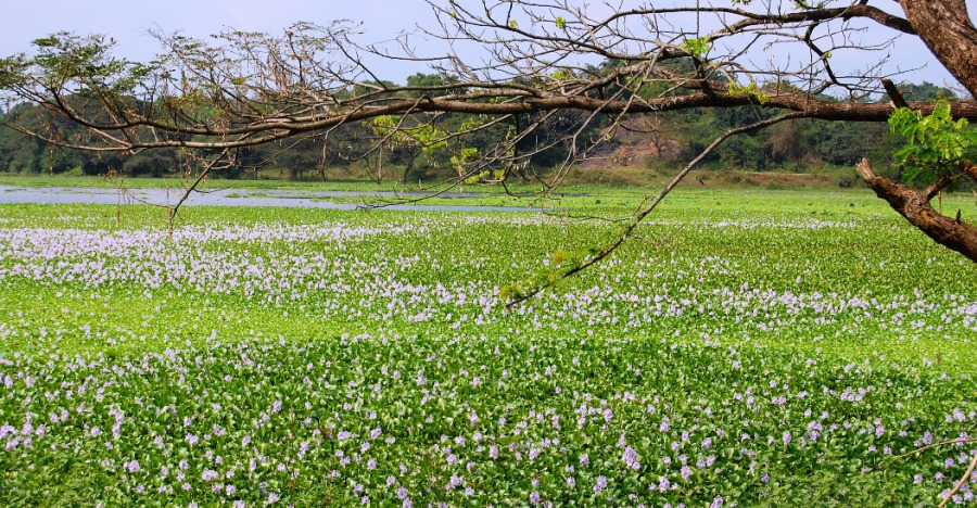 Invasive Alien Species: A Silent Threat to Sri Lanka's Biodiversity
