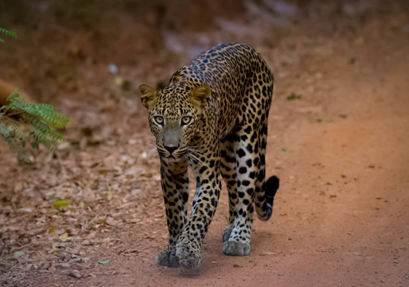 A Standardised Population Survey of the Sri Lankan Leopard in Wilpattu National Park